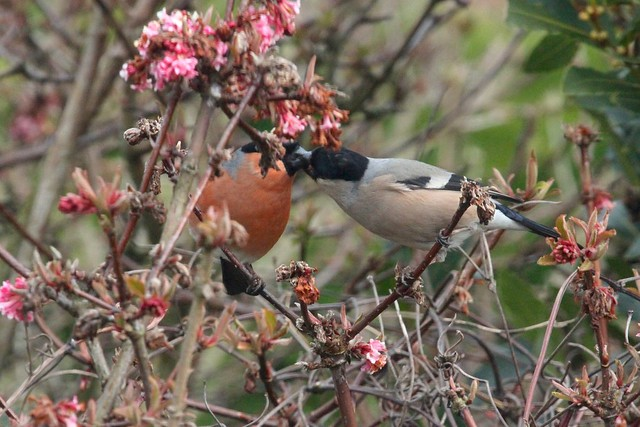 Kissing Bullfinches