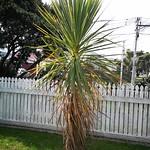 tī kōuka planting in Front yard by shiny