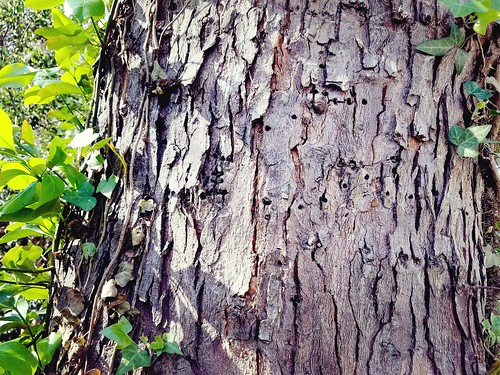 woodpecker holes in our old silver maple