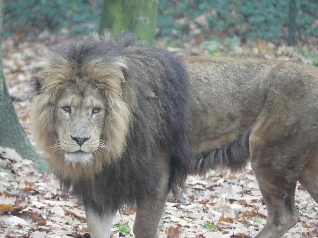 Löwe, Burgers Zoo