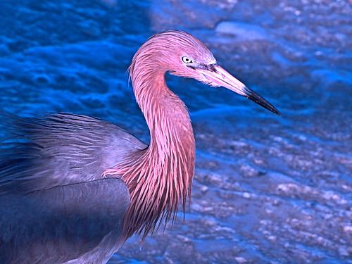 Reddish Egret portrait 02-20180403