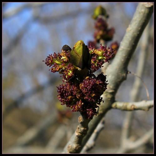 Fraxinus excelsior - frêne élevé, frêne commun 40731047505_394291a3b1