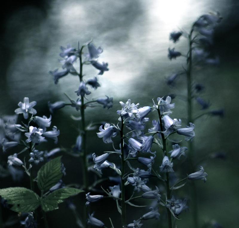 Bluebell memories