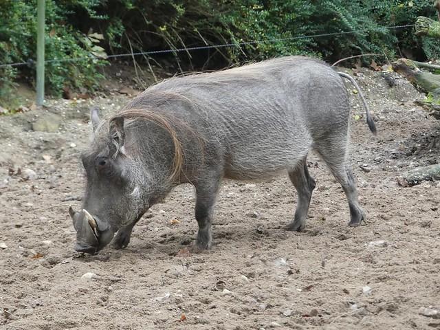 Warzenschwein, Burgers Zoo
