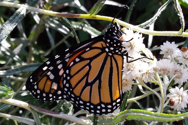 Male monarch butterfly resting on a pearly everlasting plant, facing right.