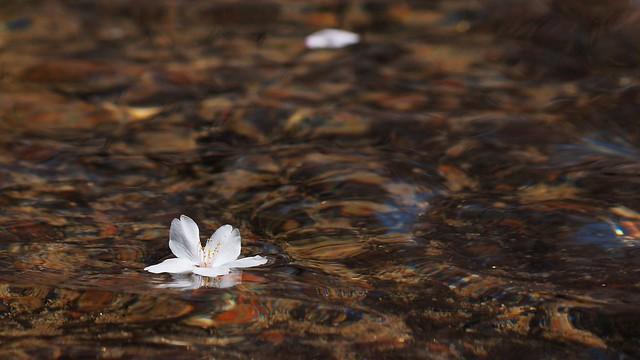 Photo:floating flower By coniferconifer