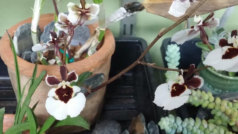 Les orchidées chez Sougriwa - Page 5 41368279671_5d6b62c829_c