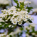 Hawthorn flowering season