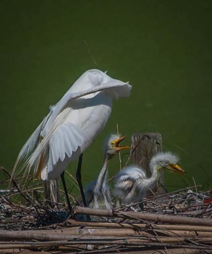 Mama and Baby Egrets
