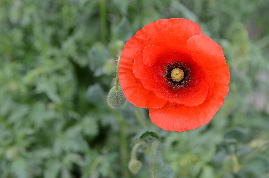 Poppies 03