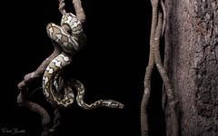 Coastal Carpet Python (Morelia spilota mcdowelli) 作者 elliotbudd