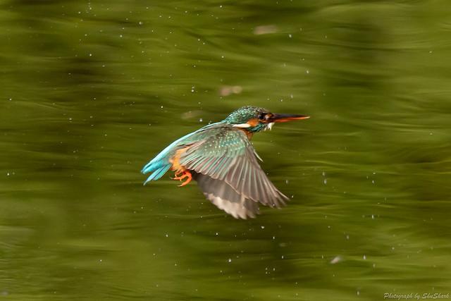 20180527-kingfisher-DSC_2755