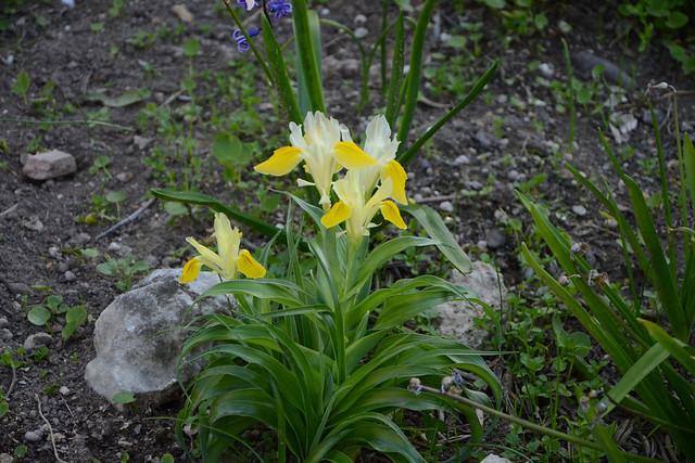 Iris bucharica - Page 2 26249647297_bf772a052f_z