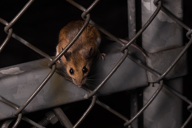 Deer Mouse, Peromyscus sp.