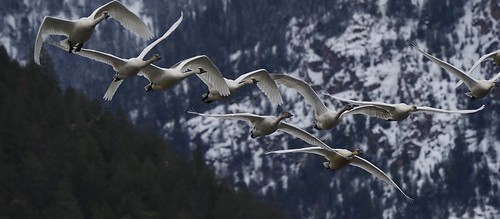 Tundra Swans against the Mission Range. Explored.