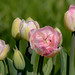 rose white tulips