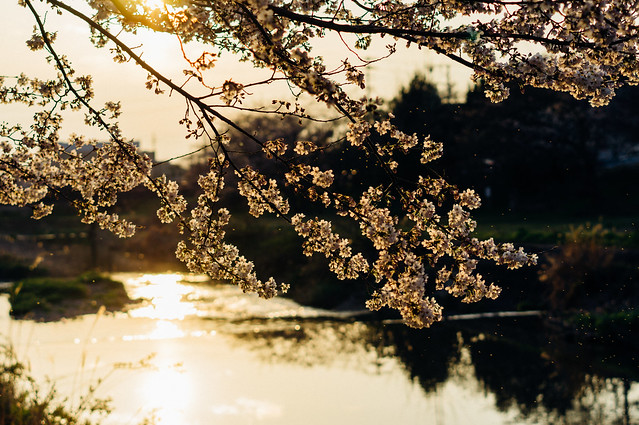 CherryBlossoms_07