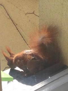 Hörnchen mit kahler Stelle