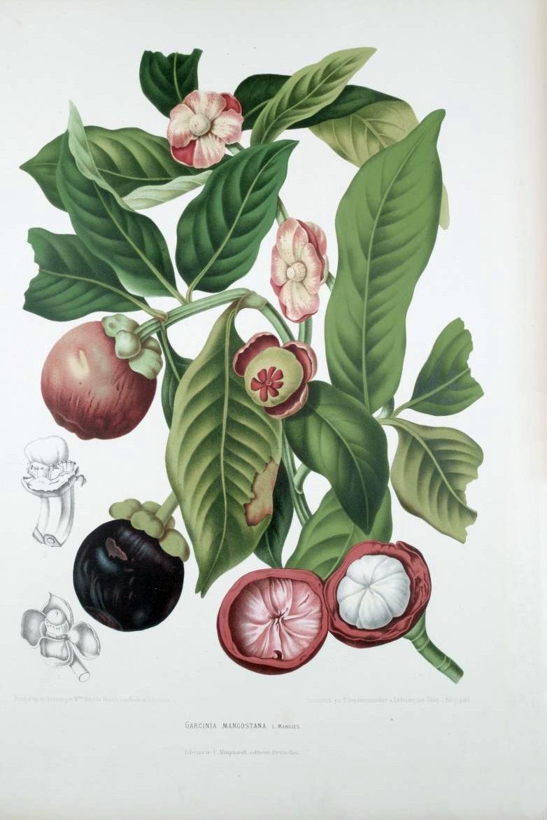 Illustration from Fleurs, Fruits et Feuillages Choisis de l'Ile de Java 1863–1864 by Berthe Hoola van Nooten (Pieter De Pannemaeker lithographer)
