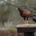 Harris Hawk. ( International Centre for Birds of Prey)