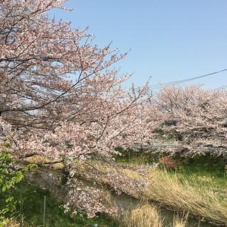 4月2日 矢那川の桜
