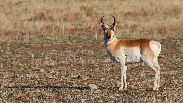 Pronghorn, Canon EOS REBEL T5I, Canon EF 300mm f/4L IS