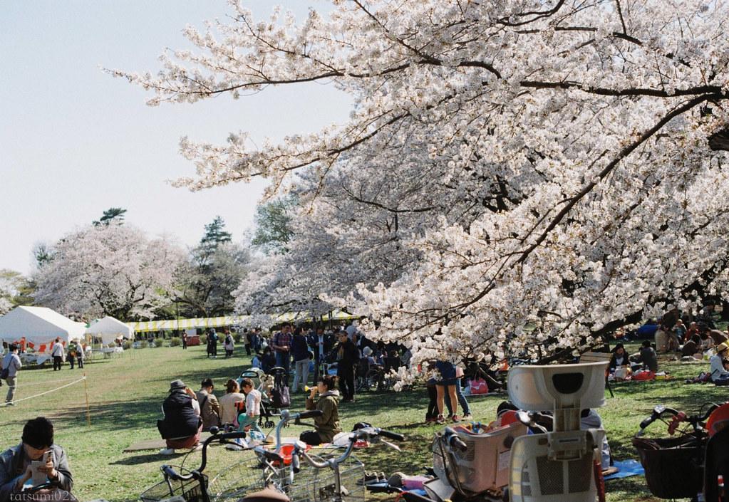 2018-03-30 小金井公園の桜 001