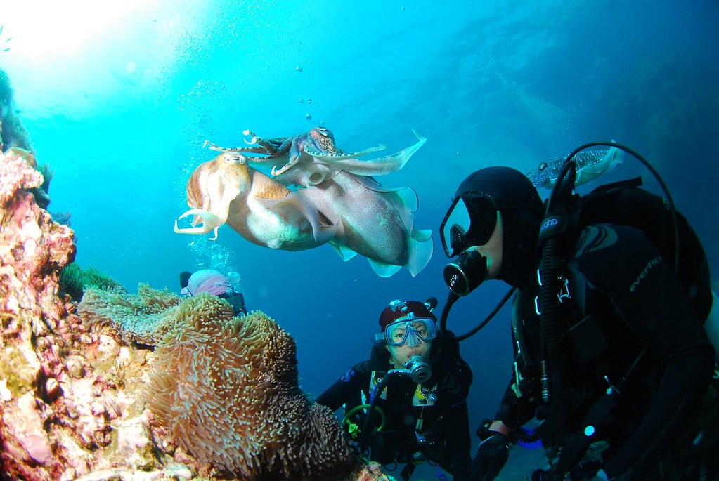 Scuba Diving cuttlefish