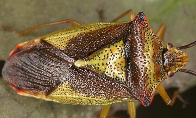 Acanthosoma haemorrhoidale (Linnaeus 1758) = Cimex haemorrhoidalis Linnaeus, 1758, la punaise de l'aubépine.