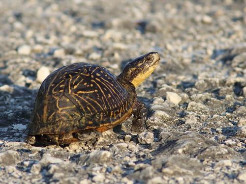 Florida Box Turtle 01-20180621