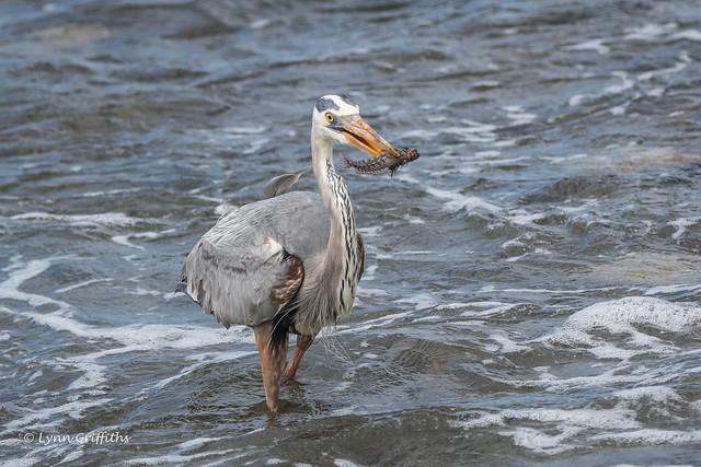 Great Blue Heron 500_3725.jpg