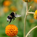 Bee-RSPB Conwy-North Wales