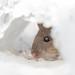''Mini-mouse!'' Souris commune-Mousse by pascaleforest
