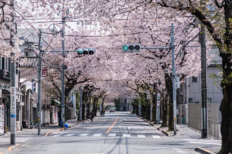 北千住・大踏切通りの桜並木