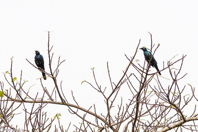 CHU_1444-2 (splendid starlings)