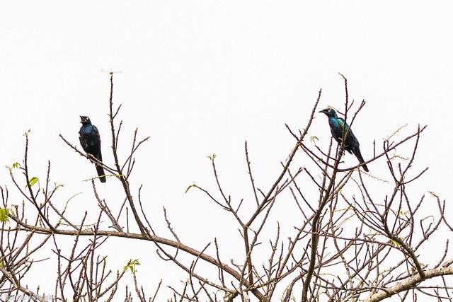 CHU_1444-2 (splendid starlings)