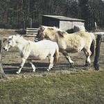 20180402-143821 Pferde am Zaun