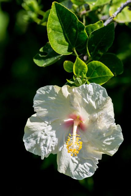 White Hibiscus, Kauai, Hawai'i, USA