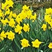 Daffodils at Cresswell - Spring 2018
