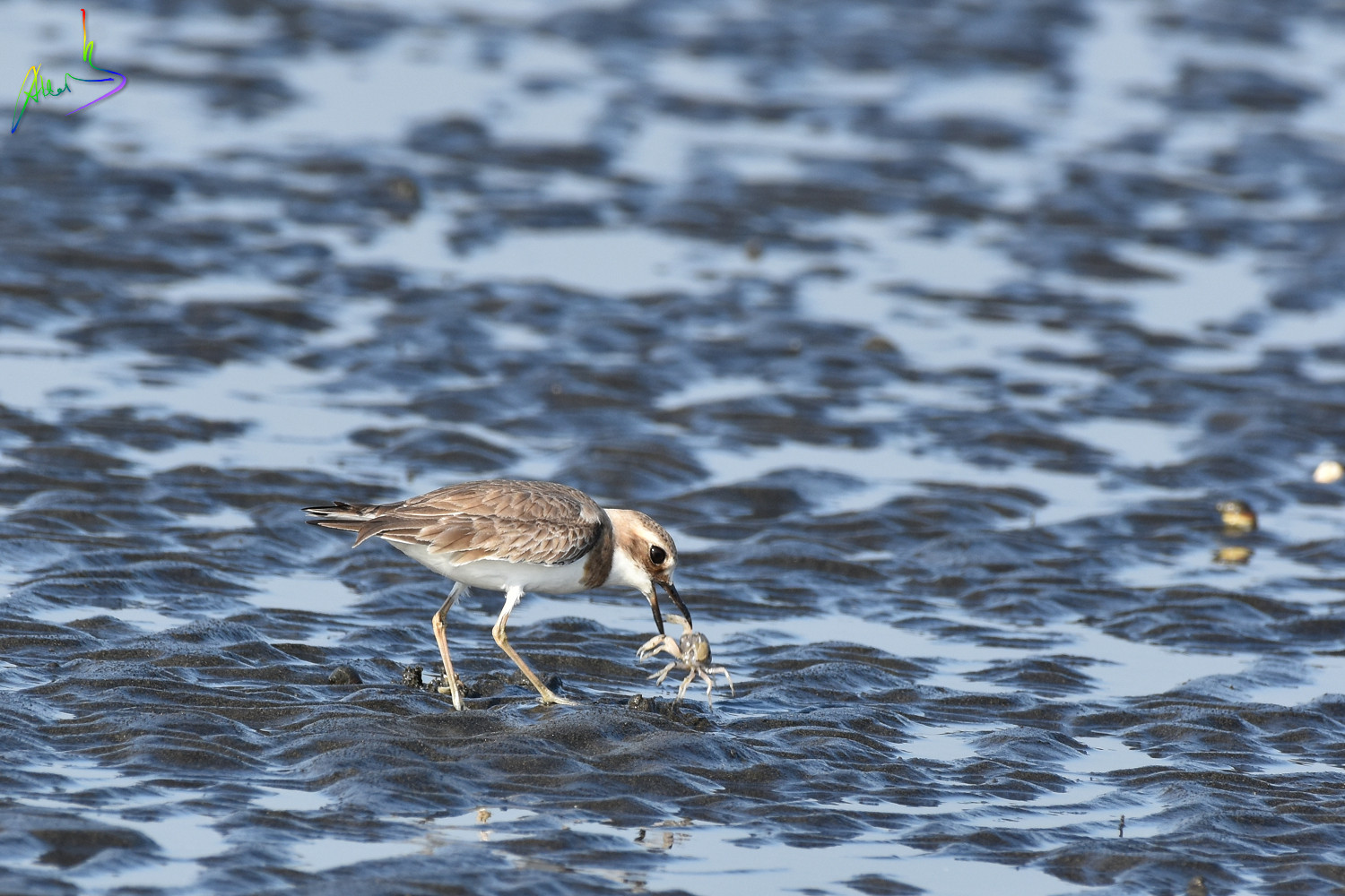 Greater_sand_plover_1072