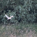 Barn Owl - Woods Mill (139)