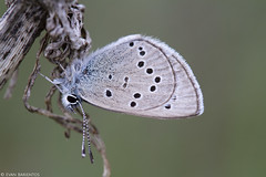 Hairstreak species