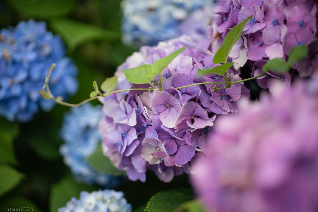 2018-06-16 開成町の紫陽花 003