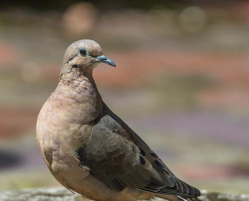 quito pichincha ecuador ec eareddove dove zenaidaauriculata zenaida totaky columbidae pigeon nigelje sanjorgeecolodges