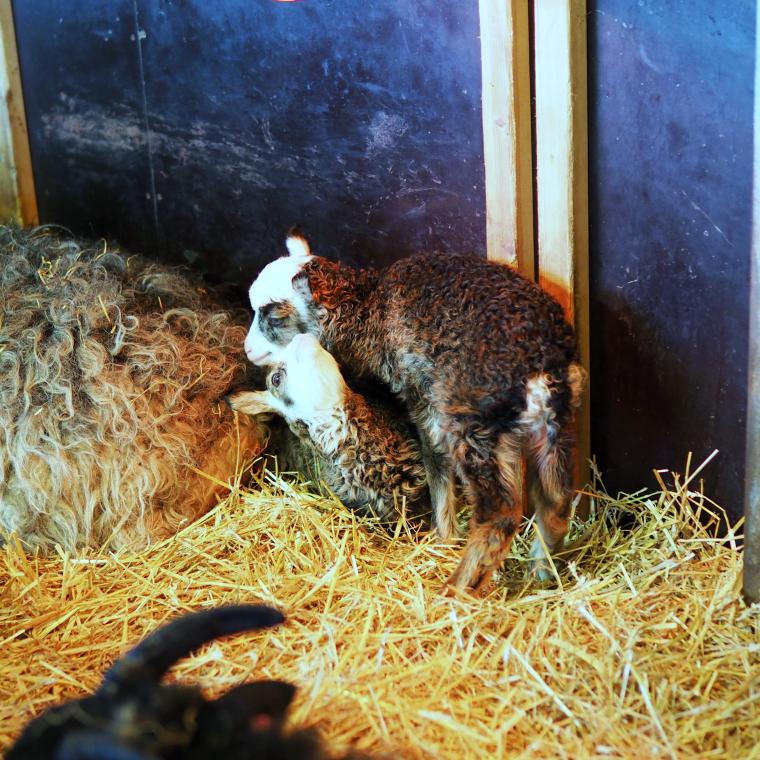 lammasvauvat Fallkulla