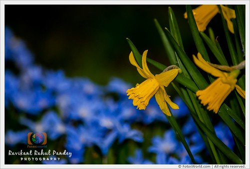 Daffodils-in-Princes-Street-Gardens-The-first-sign-of-spring-Edinburgh-Scotland-180407-175422