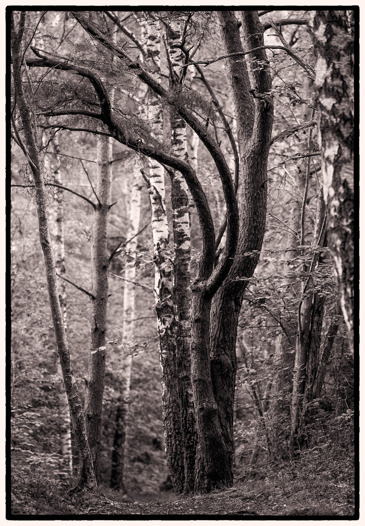 Trees by the path - 1