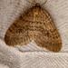 Winter Moth - Operophtera brumata