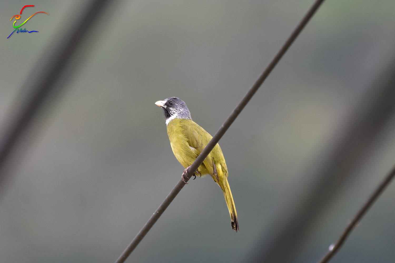 Finch-billed_Bulbul_9665