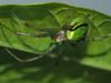 Photo:Cucumber Green Spider (Araniella cucurbitina, ムツボシオニグモ) By Greg Peterson in Japan